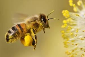 Polen recoltat de albine