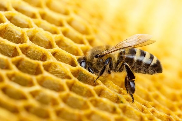 Albina in fagure